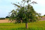Hochstämmige Obstbäume jetzt bestellen