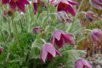 Lorsch: Nicht erst im Mai! –  Jetzt schon lohnt ein Besuch im Lorscher Pfingstrosengarten