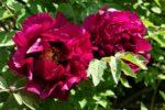 Lorsch: Der Tipp: Öfter vorbeischauen – Im Pfingstrosengarten ereignet sich täglich Neues